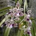 medium_Vanda tricolor.JPG